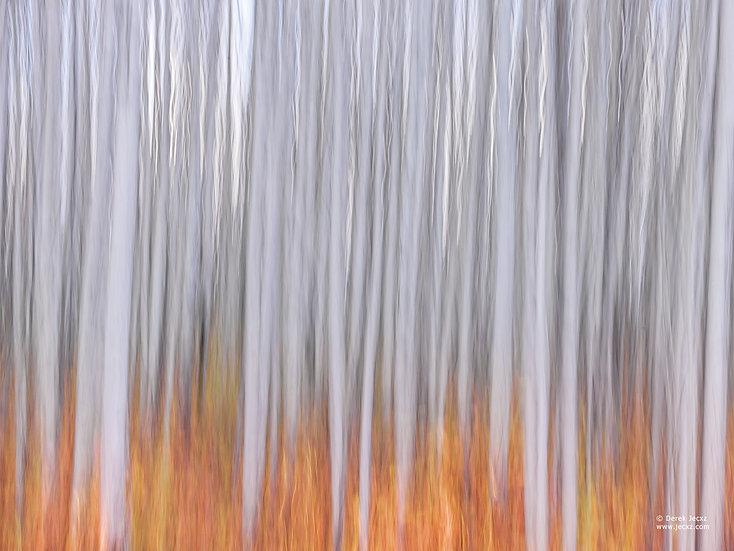 Fire Birch