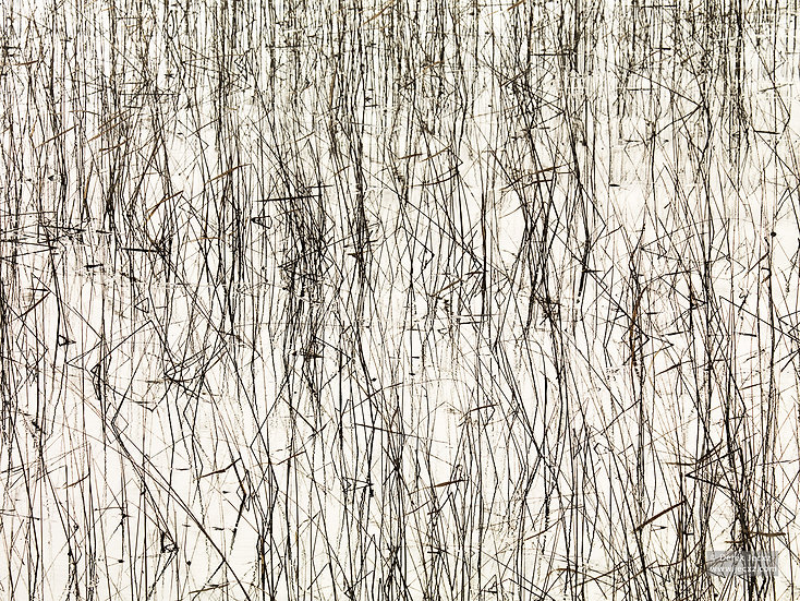 Sunlit Reeds