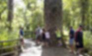 Puketi Kauri Forest.jpg