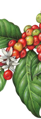 coffee-plant-flowers-berries-fruit.png