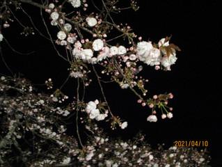 桜のライトアップをしました。