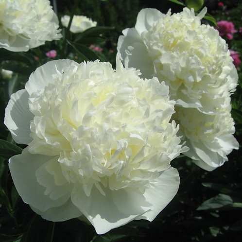 белый пион Дюшес де Немур (Duchesse de Nemours)