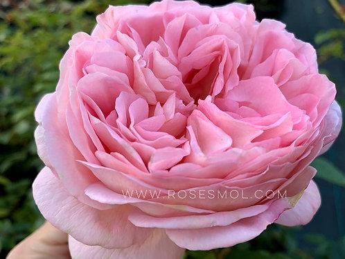 английская розовая роза Абрахам Дерби (Abraham Darby) питомник интернет магазин Rosesmol