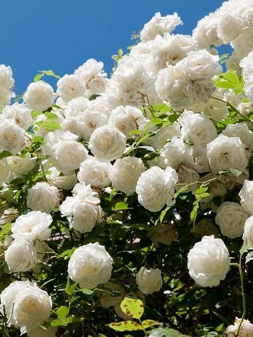 Айсберг (Iceberg) плетистая белая роза