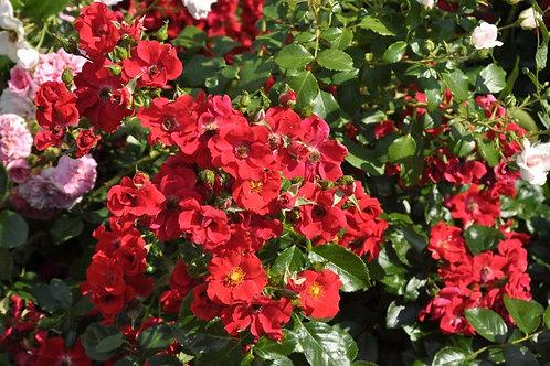Роза Альпенглюхен (Alpenglühen) на штамбе