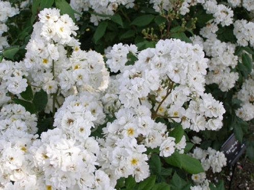 белая мелкоцветковая мускусная роза Ватерлоо (Waterloo)