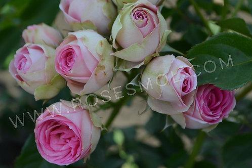 Роза спрей кустовая Мими Эден (Mimi Eden) бело-розовая, пионовидная роза