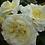 Роза плетистая Эльф Elfe зеленая
