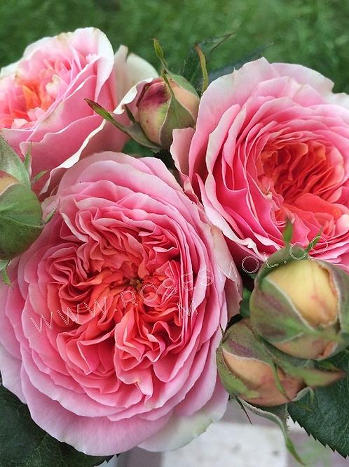 Роза Чиппендейл Chippendale шраб, пионовидная роза, персиковая