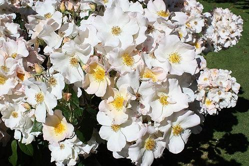 роза белая простая Салли Холмс (Sally Holmes) мускусный гибрид
