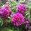 Роза ругоза Ханса Hansa розовая