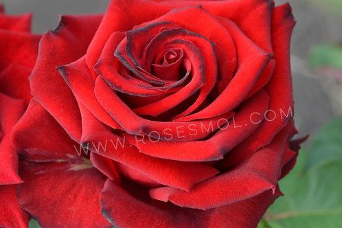 Гранд Аморе (Grande Amore) чайно-гибридная красная роза