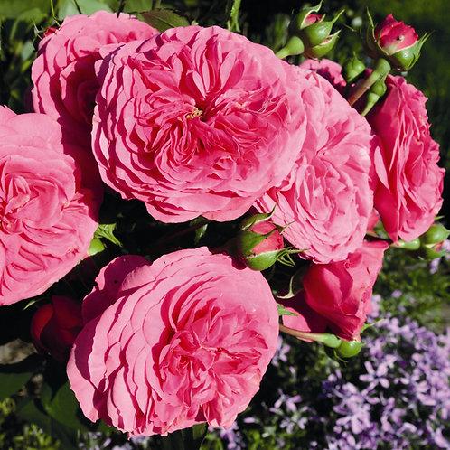 Роза флорибунда Баронесса Baronesse розовая пионовидная роза