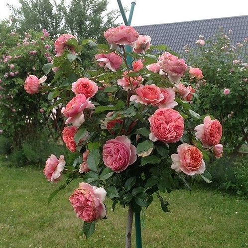 Роза Чиппендейл (Chippendale) на штамбе