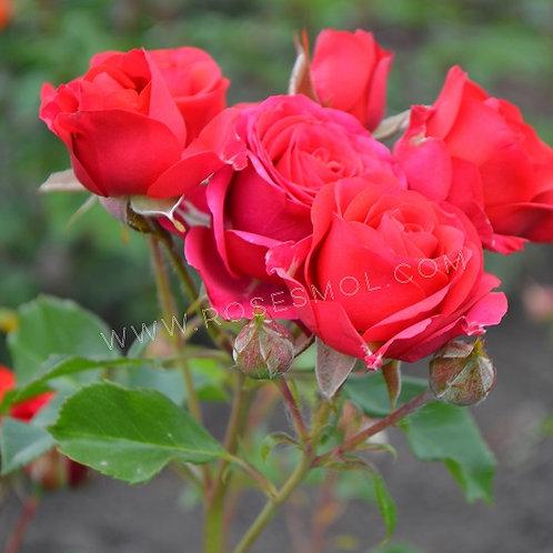 Мирабель (Mirabel) роза-спрей