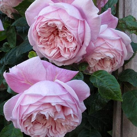 Английская розовая роза Спирит оф Фридом (Spirit of Freedom)