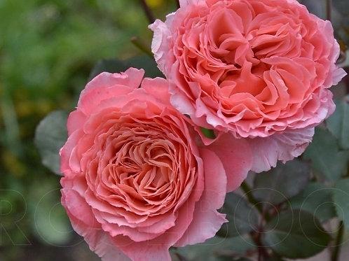 роза кустовая Лоран Каброль (Laurent Cabrol) шраб кораловая розовая