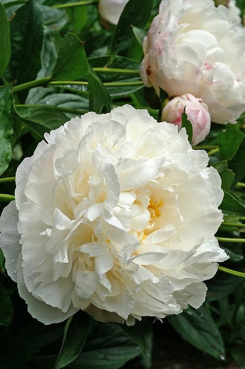Гардения (Gardenia) 3-5 почек