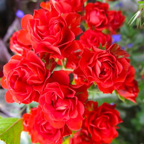 Почвопокровная красная роза Скарлет Мейяндекор (Scarlet Meillandecor)
