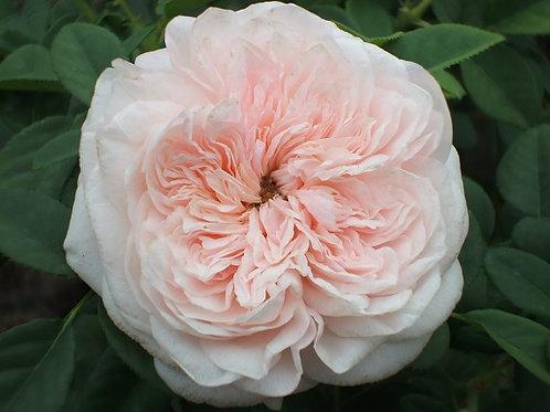 Клэр Роуз (Claire Rose) Английская роза