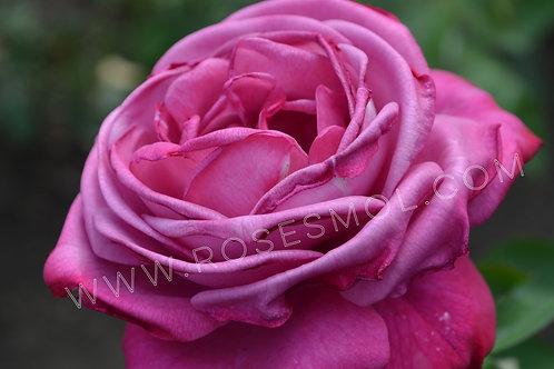 Виолет Парфюм Violette Parfume