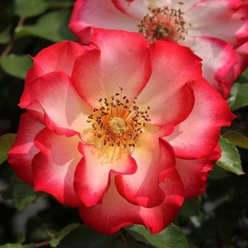 флорибунда двухцветная бело-розовая Бетти Буп Betty Boop