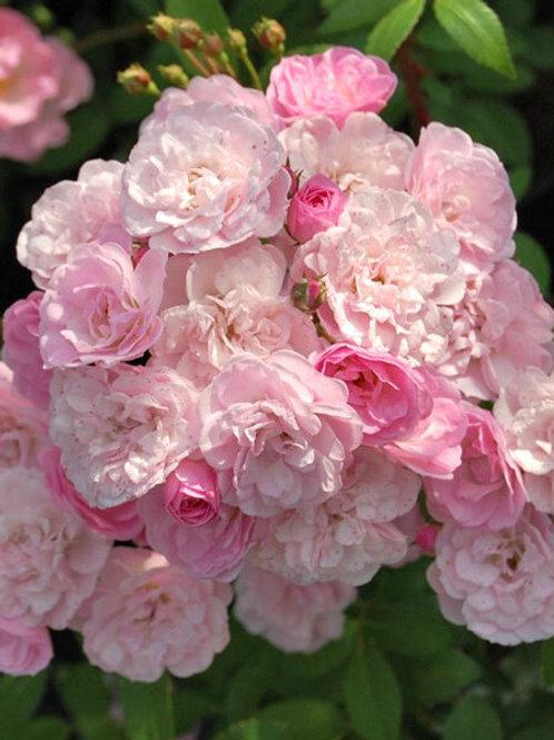 Хэвенли Пинк (Heavenly Pink) мускусный гибрид