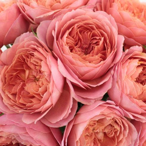 коралловая роза флорибунда Романтик Антик (Romantic Antike), розы кордес Kordes