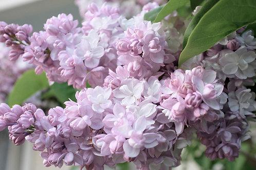 Сирень бело-розовая Красавица Москвы