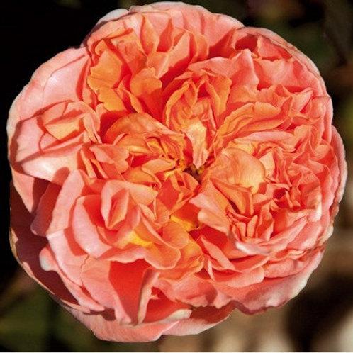 Роза Рене Госсини (Rene Goscinny) чайно-гибридная оранжевая роза