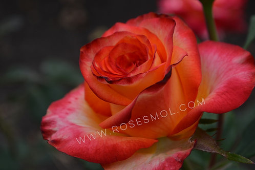 Роза чайно-гибридная Хай Меджик High Magic желто-красная