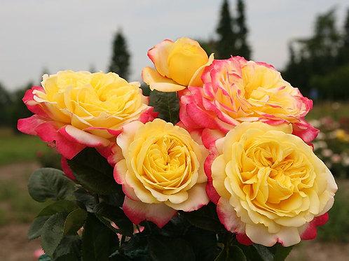 двухцветная чайно-гибридная роза Юбилей Кордеса (Kordes Jubilee)