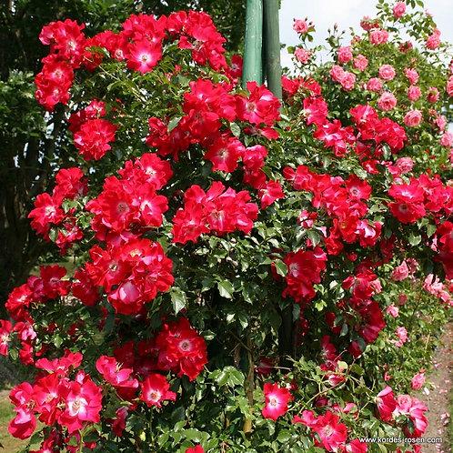 красная плетистая роза Дортмунд (Dortmund) непрерывно цветущая