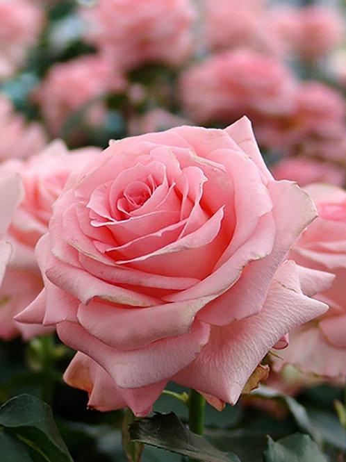 Роза Ноблесс (Noblesse) чайно-гибридная срезочная розовая роза