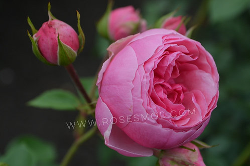 Роза Помпонелла Pomponella флорибунда розовая пионовидная