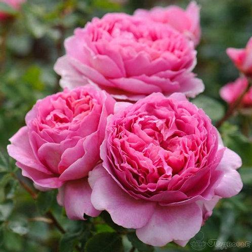 Английская розовая роза Принцесса Александра Кентская (Princess Alexandra of Kent)