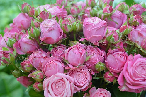 Роза кустовая пионовидная Леди Бомбастик Lady Bombastik розовая