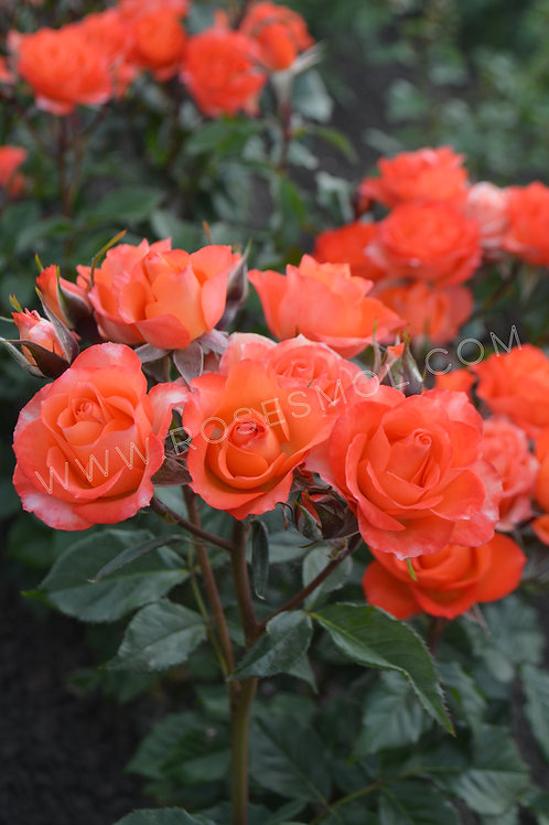Роза спрей оранжевая Алегрия Alegria бордюрная роза