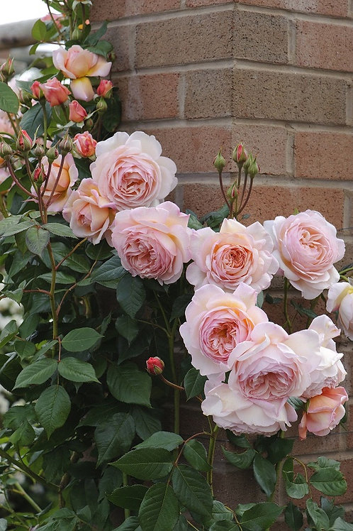 Э Шропшир Лэд (A Shropshire Lad) Английская роза