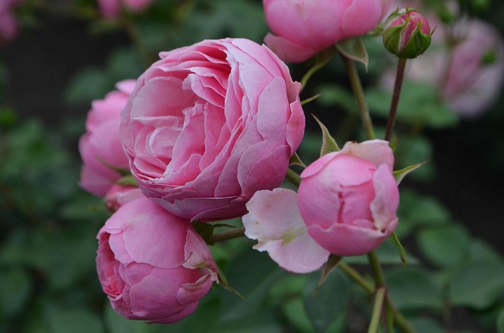Купить саженцы роз почтой в Москве и московской области, розовая роза, заказать саженцы роз, декоративные растения, плодовые и ягодные кустарники