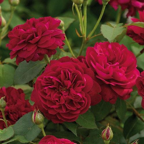 роза английская малиновая Дарси Бассел (Darcey Bussell)