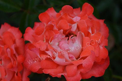 роза кэнди раффлз флорибунда rose candy ruffles