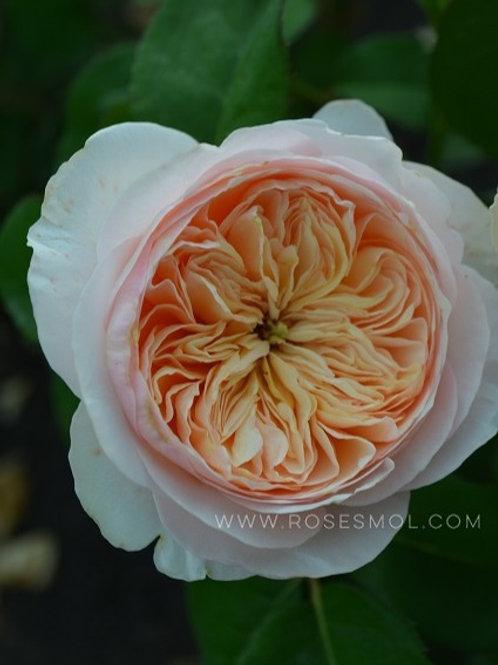 английская роза Джульетта (Juliet) персиковая