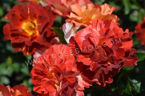Роза флорибунда Тауни Тайгер (Tawny Tiger) коричневая полосатая