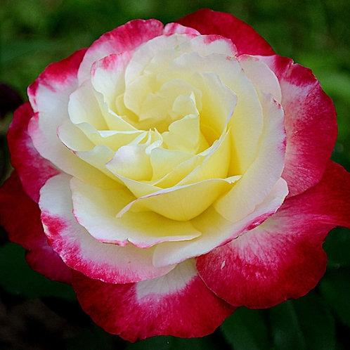 Дабл Делайт (Double Delight) чайно-гибридная бело-красная роза