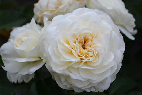 Леди Романтика (Lady Romatica) флорибунда
