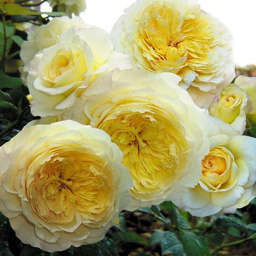 желтая кустовая роза нельсон монфор nelson monfort розы гийо