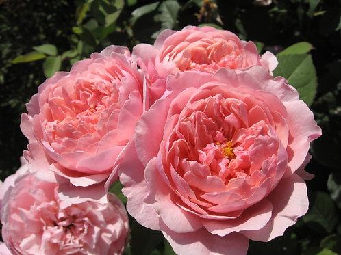 Алнвик Роуз (The Alnwick Rose)
