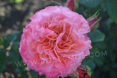 Роза Августа Луиза (Augusta Luise) кораловая, пионовидная с крупными цветками