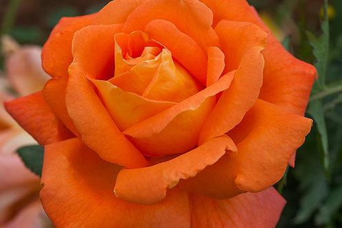 Роза Луи де Фюнес (Louis de Funes) оранжевая